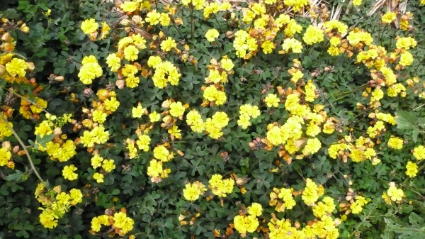 Oxalis pes caprae pleniflora.