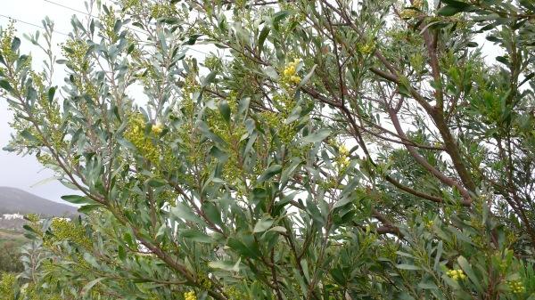 Premières fleurs de mes mimosas.