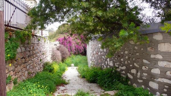 Entre les murs d'enceinte des belles demeures, çà et là effondrés, un bougainvilliers géant, des mimosas bientôt fleuris, et ce joli chemin pavé.
