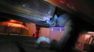 Chatte hyper sauvage en planque dormitive.